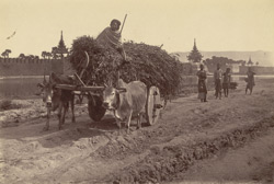 One of the common Carts of the country bringing in fodder [to Mandalay]